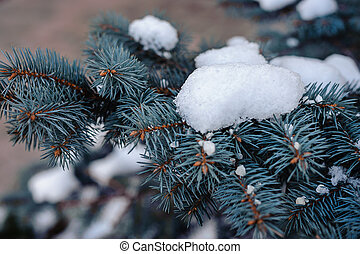 snow on blue spruce - branches of a blue spruce in the snow