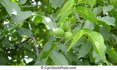 Green Walnuts in Tree - Some green walnuts in tree. Walnuts...