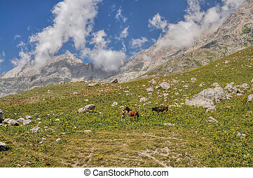 Kyrgyzstan - Shepherd with horse and bull in scenic mountain...