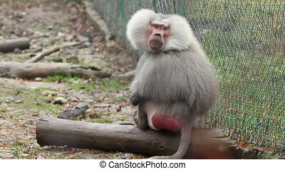 Grey Baboon - Pensive solitaire baboon monkey stamding and...