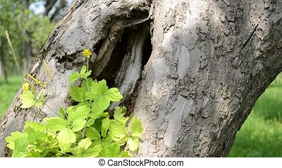 Large Hollow of a Tree - A large tree hollow with some...