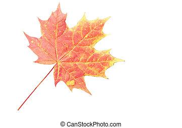 葉, 上に, 隔離された, 背景, 白, かえで