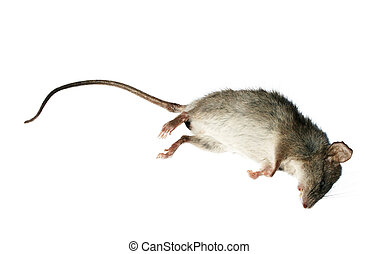 Dead rat - Stock image of dead rat isolated on white