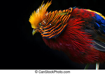 COLOURFUL BIRD - Red blue and yellow colored bird on black...