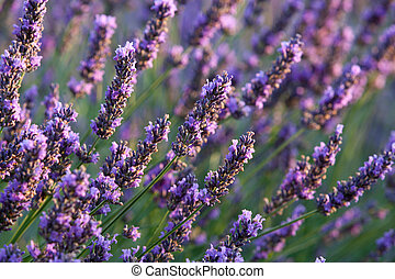 Lavender - Flower of Lavender during sunrise