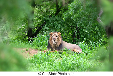 Lion - Single big lion sitting in the middle of forest shot...