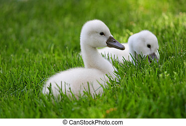 Baby Swans - Cute few weeks old baby swans on grass