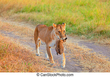 Female lion carrying a cup, Masai Mara - Female lion...