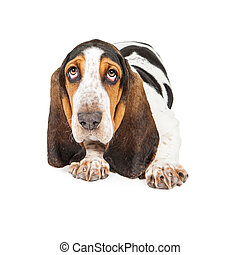 Adorable Basset Hound Puppy - A cute young Basset Hound...