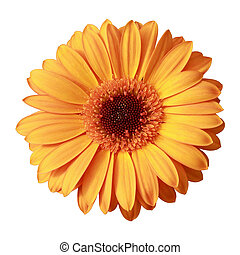 Yellow gerbera flower isolated on white
