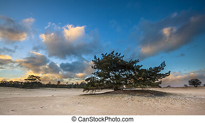Lonely Pine Tree in shifting sands area - Lonely Tree in...