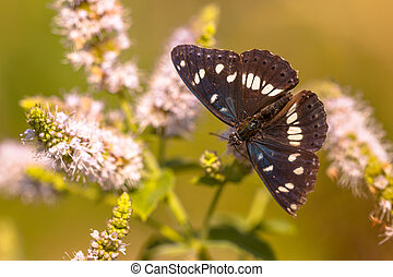 Southern White Admiral Butterfly Limenitis reducta Feeding...