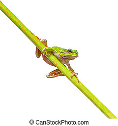 Green European Tree frog on a long diagonal stick - European...