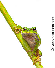 Green European Tree frog frontal diagonal - Green European...