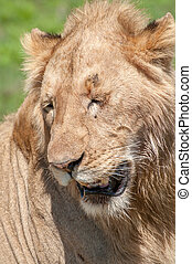 Male Lion - Portrait of a male lion with eyes closed.