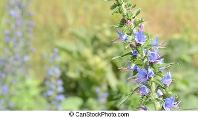 Mountaina Blue Veronica Orchidea - The Veronica Orchideea...