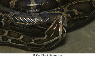 Moving Boa Snake - Close-up shot of a boa snake in small...