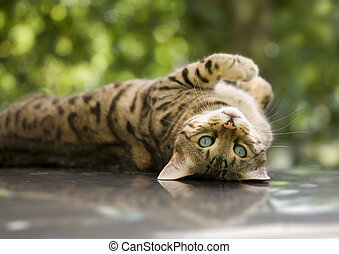 Cat - Bengal cat - charming Bengal cat lying on his back...