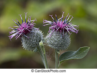 Flowers burdock - Burdock herb Has wound-healing, diuretic...