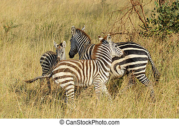 Young common zebras playing - A group of three young and...