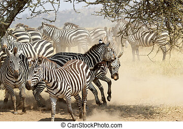 Herd of restless common zebras - A group of restless common...