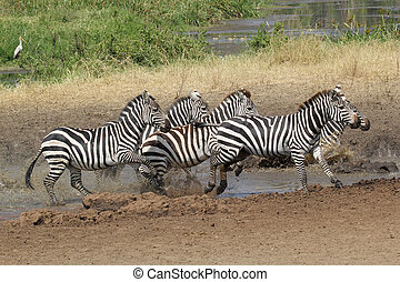 Herd of common zebras near a water hole - A herd of common...