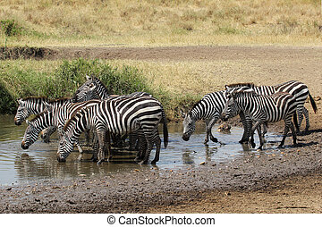 Herd of common zebras drinking from a water hole - A herd of...