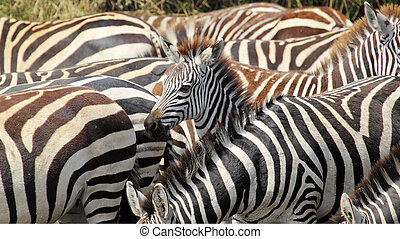 Baby common zebras surrounded by the herd - A baby common...