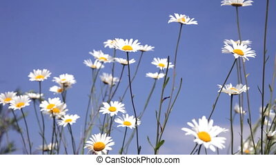 blossoming field camomiles on a wind against the blue sky