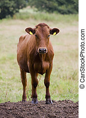 Cow - Young Heifer