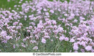 Pink Puffy Tiny Flowers - Pan shot of fresh spring tiny pink...