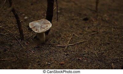 Picking Safe Mushrooms - Collecting edible mushrooms from a...