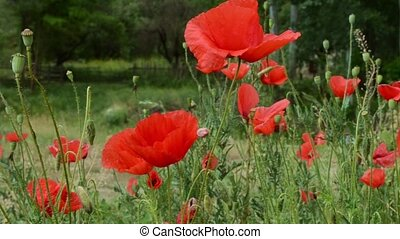 Poppies on Field Close Up - Red poppies close up. Ornamental...