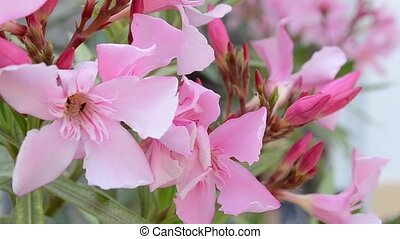 Pink Buds and Flowers - Buds and pink petals flowers in...