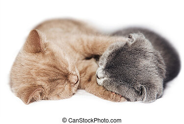 two kittens hugging sleep - Scottish fold two kittens...