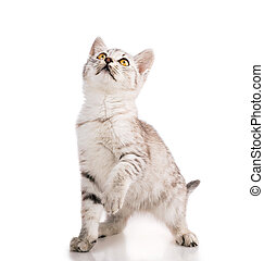 gray striped tabby cat kitten  isolated on white background