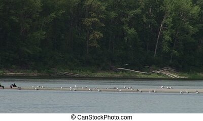 River Bank Birds - Black cormorants and white sea gulls on a...