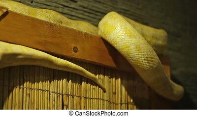 Python Snake - Yellow pyhton snake moving. The Python...