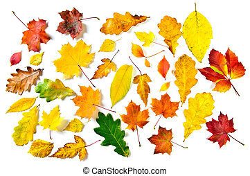 Various autumn leaves: maple, oak and other on white...