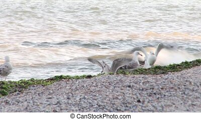 Sea Gulls Playing - Sea Gulls playing on the beach near...