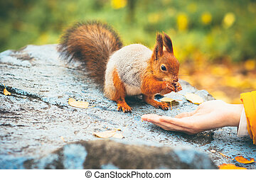Squirrel eating nuts from woman hand forest on background...
