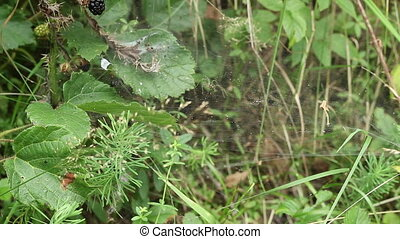 Spider Attacks Prey - Forest spider catches its prey in web,...