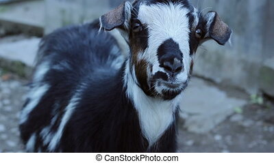 Staring Goat - A curious domestic she-goat follows with...