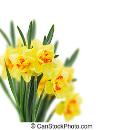 spring narcissus - fresh spring yellow narcissus isolated on...
