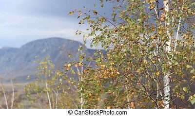 Sunny Golden Autumn Canopy - Small birch leaves in the wind...