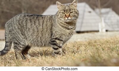 Stripped Cat - A tabby cat side view, in nature, outdoors. A...