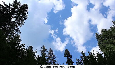 Tall Pines and Fast Clouds - White clouds and clear blue...