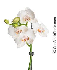orquídea,