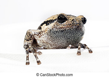 Bullfrog, ,