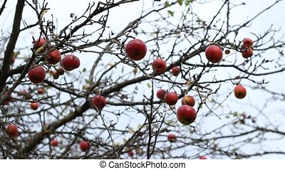Unpicked Red Apples on Branches - Remaining red apples on an...